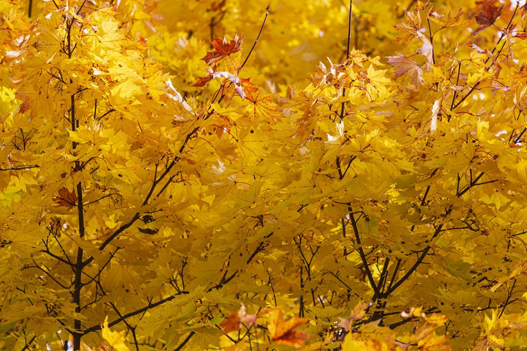 Autumn Photography. Maple Leaves.